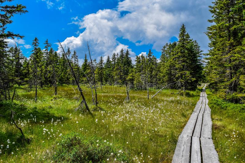 Peat-bog in the coniferous forest with the wooden path. royalty free stock image