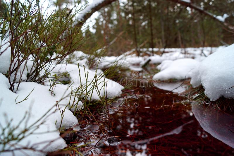 Peat bog, red water, bent trunk, snow and blueberry. Cervene blato, Trebonsko, South Bohemia stock photography