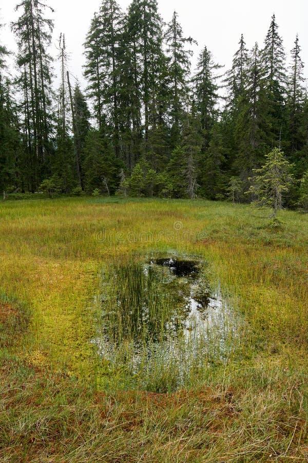 Peat bog in Romania. Peat bog in Apuseni national reserve, Romania stock photo