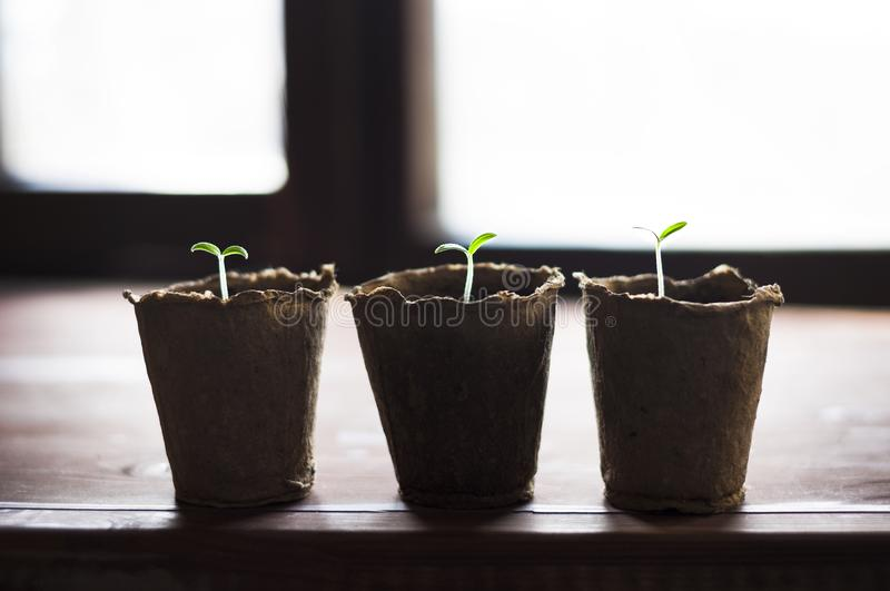 Peat pots with little sprouts by the window royalty free stock photography