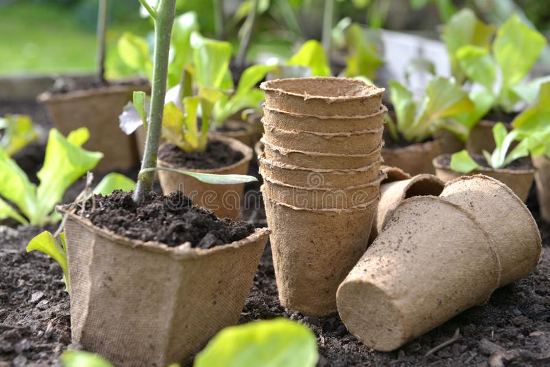 Peat pots for seedling in garden on the ground stock photo
