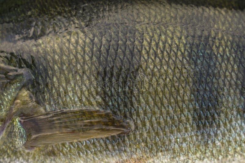 Peau d'échelle de poissons de perche avec l'aileron Pêche du fond de camouflage images stock