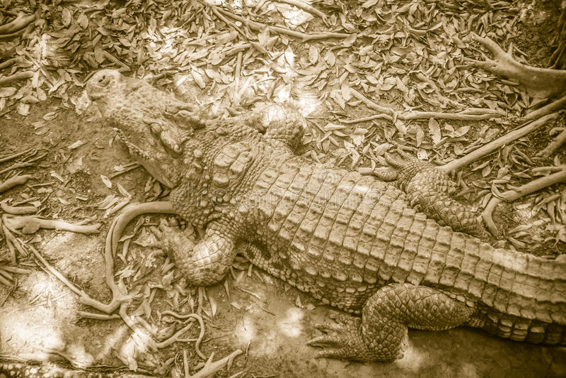 Peau de Brown de dos d'eau douce de crocodile ce mensonge toujours sur photos stock