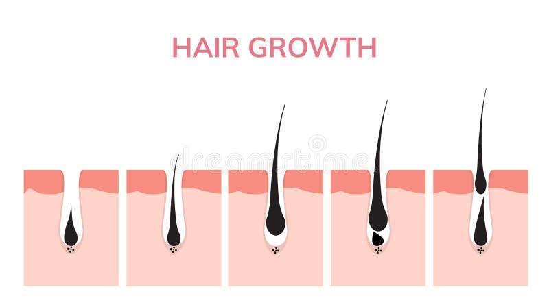 Peau de cycle de croissance de cheveux Phase d'anagen d'anatomie de follicule, illustration de diagramme de croissance de cheveux illustration libre de droits