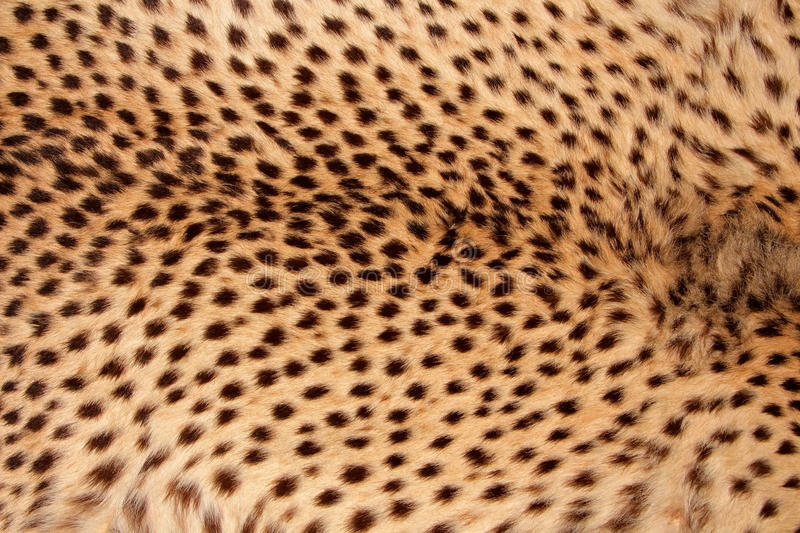Peau de guépard photo stock