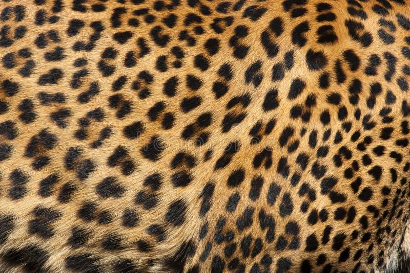 Peau de léopard photographie stock
