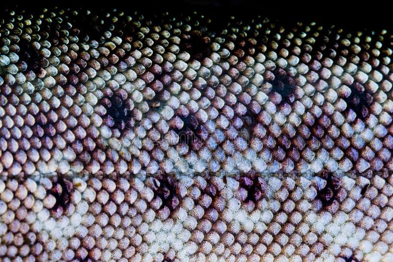 Peau de poissons de truite image libre de droits
