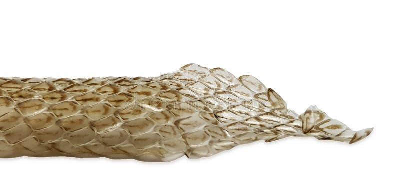 Peau de serpent à échelle sur fond blanc, macro photo Modèle d'échelle de reptiles Closeuse de la peau de serpent sec Serpent mou photo libre de droits