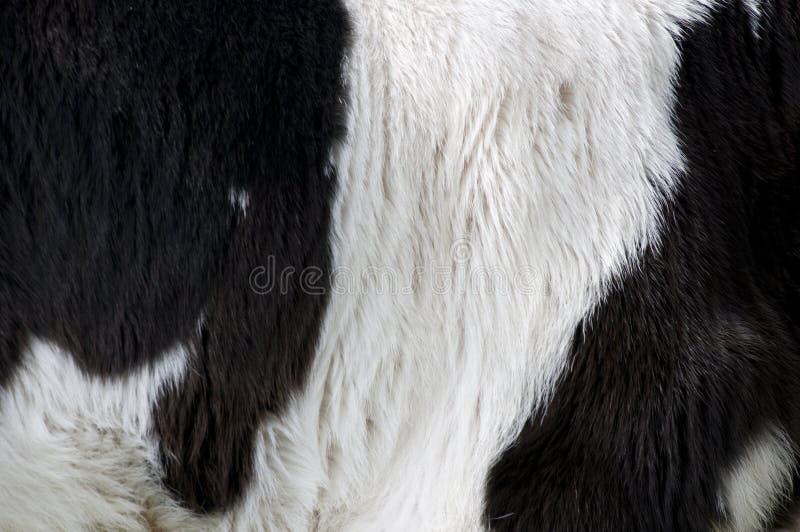 Peau de vache photos libres de droits