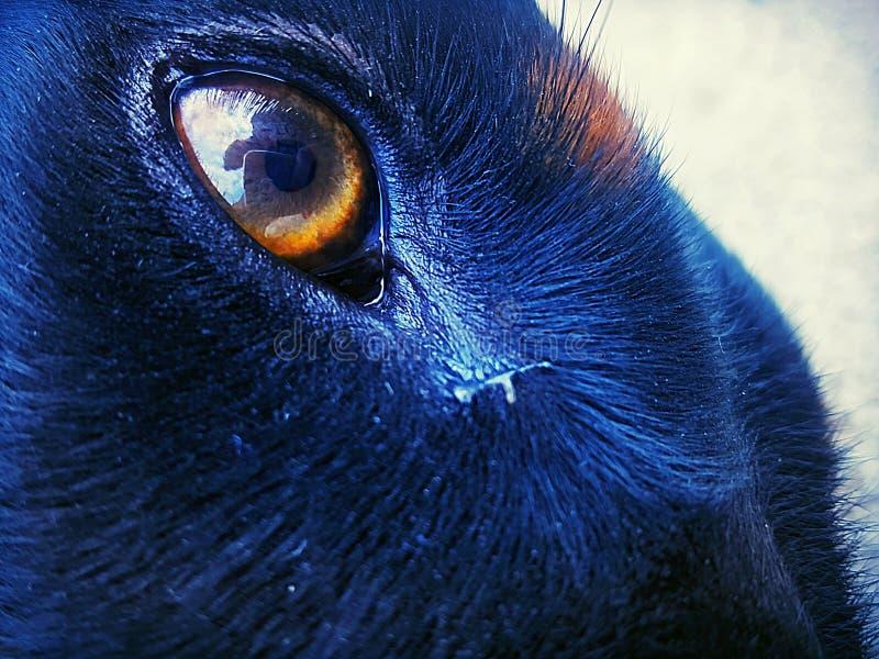 Peau et yeux de dobermann sous le soleil image stock