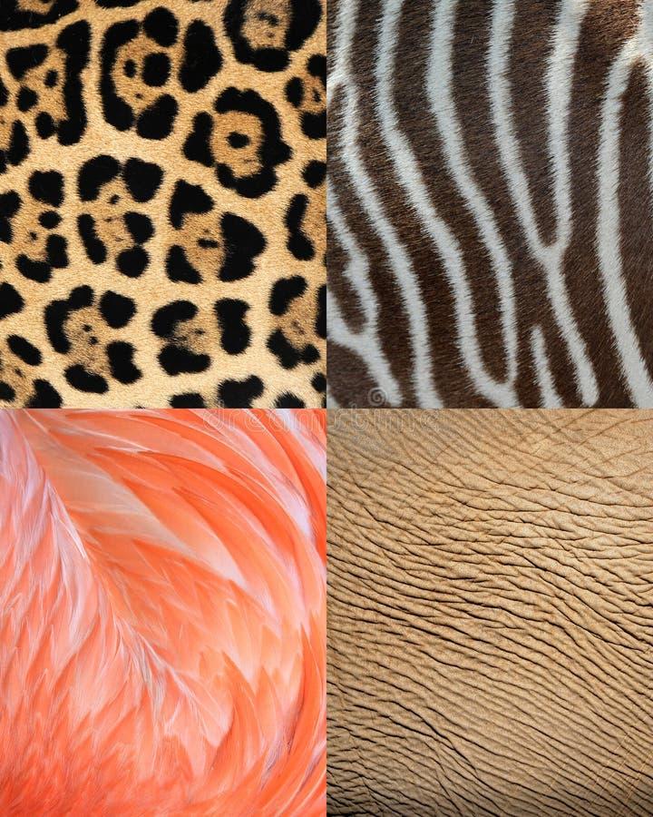 Peau, fourrure et clavettes animales de texture de configuration de l'Afrique photographie stock libre de droits