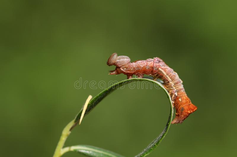 A stunning Pebble Prominent Caterpillar Notodonta ziczac perching on a willow leaf shedding its skin. stock image