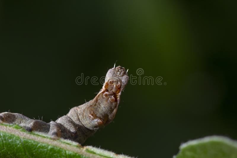 Pebble prominent moth caterpillar, Notodonta ziczac, walking, eating along a willow leaf during july stock image