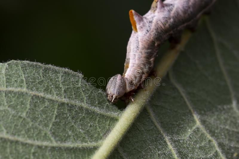 Pebble prominent moth caterpillar, Notodonta ziczac, walking, eating along a willow leaf during july royalty free stock photography