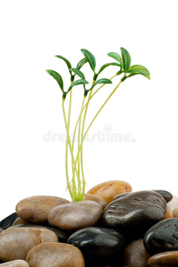 Download Pebbles and seedlings stock image. Image of herbal, concept - 19445311