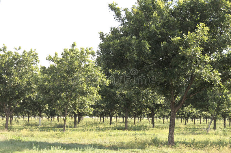 Pecan Grove royalty free stock photography