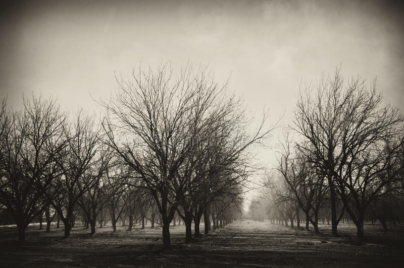 Pecan Grove royalty free stock images