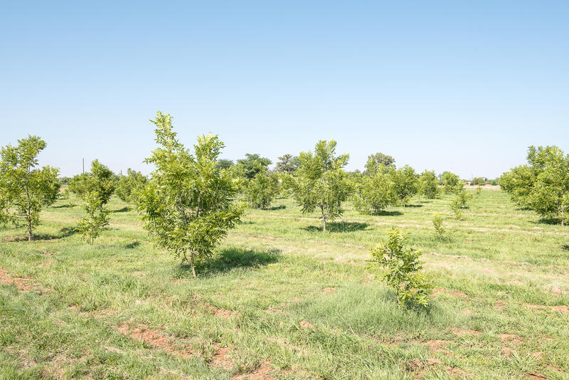 Pecan-nut orchard at Ritchie stock photography