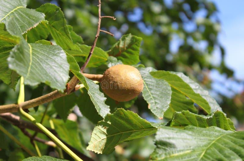 Pecan nut on the tree. Closeup of pecan nut on the tree royalty free stock photo