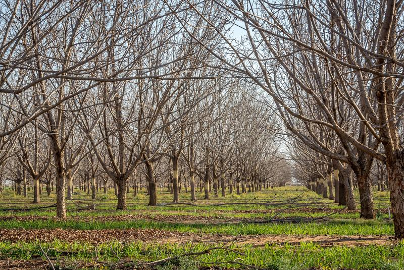 Pecan nut trees after the harvest, with oats planted in between. Pecan orchard in winter, with the naked trees and a green ground covering of oats royalty free stock photography
