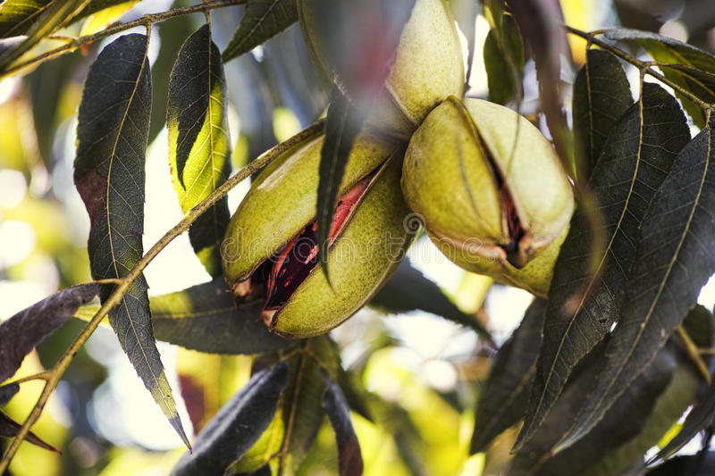 Pecan nuts growing on tree. Pecan nuts growing on the tree. Close-up royalty free stock images
