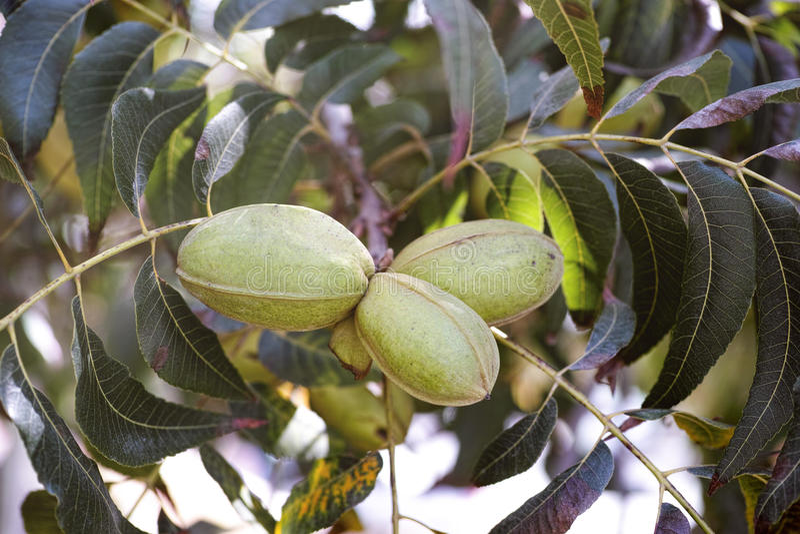 Pecan nuts growing on tree. Three pecan nuts growing on tree stock photo