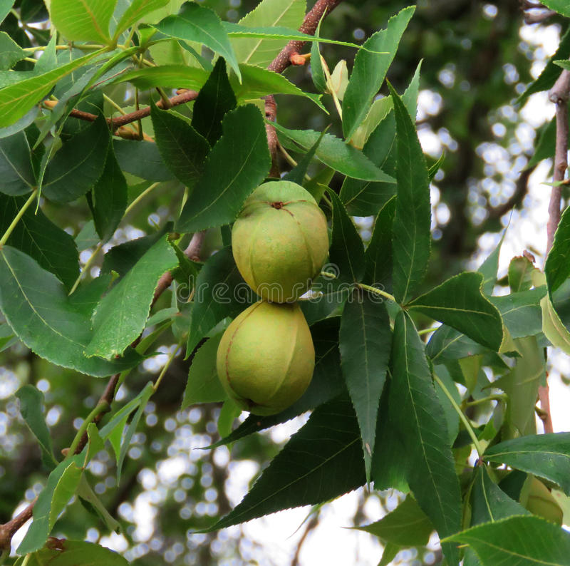 Pecan nuts growing on the tree. Two pecan nuts in summer time, growing on the tree branch. Carya illinoinensis is delicious nut eaten as is, or in pies, desserts stock images