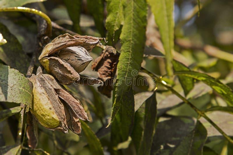 Pecan Nuts Ripening on the Tree. Farm autumn landscape in sunny weather. Pecan Nuts Ripening on the Tree. Selective focus used.Farm autumn landscape in sunny royalty free stock photo