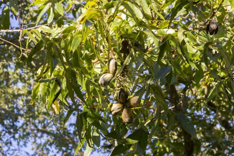 Pecan nuts ripening on tree. Ripe pecan growing on tree branch against blue skies royalty free stock image