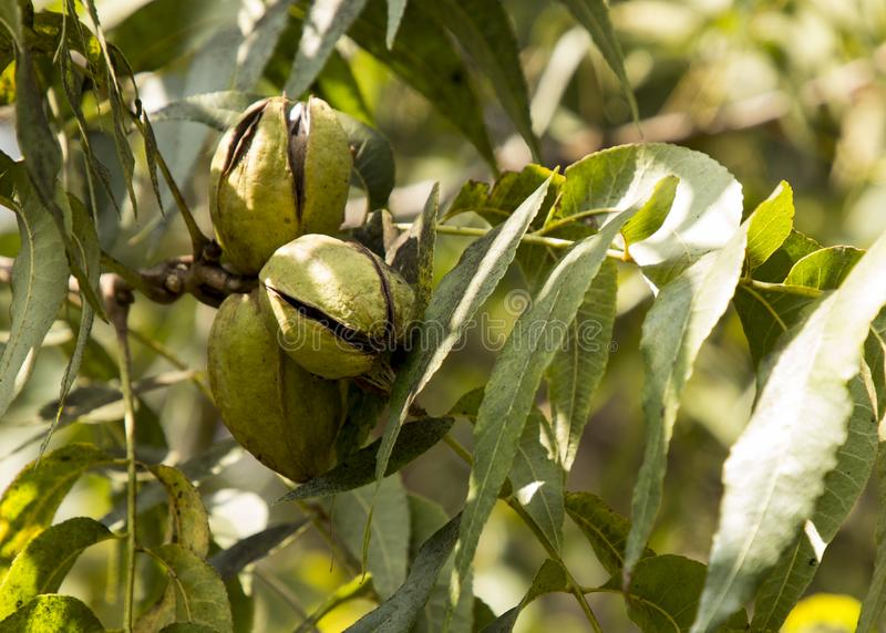 Pecan Nuts Ripening on the Tree. Selective focus used.Farm autumn landscape in sunny weather royalty free stock photos