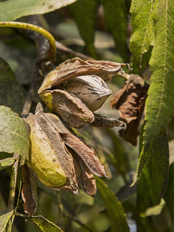 Pecan Nuts Ripening on the Tree. Selective focus used.Farm autumn landscape in sunny weather stock image