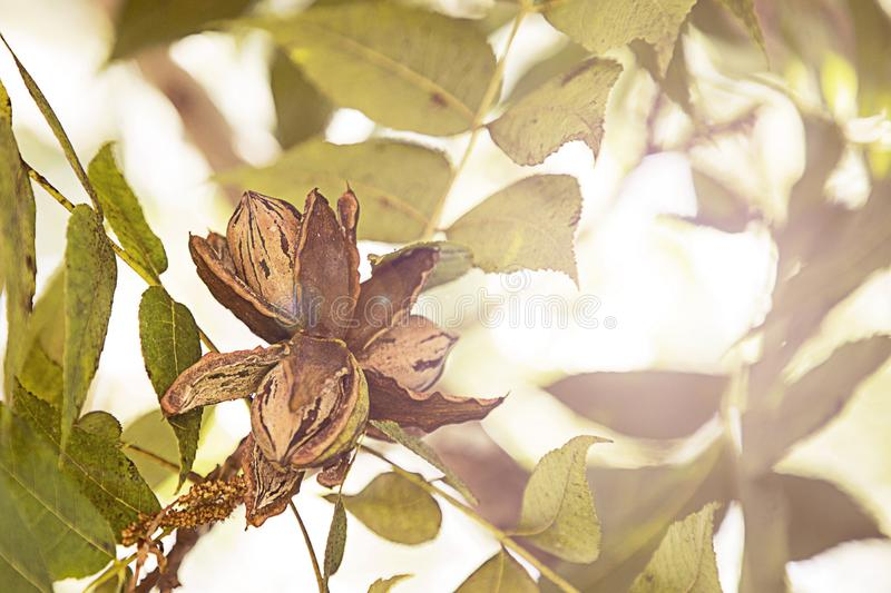 Pecan Nuts Ripening on the Tree. Selective focus used.Farm autumn landscape in sunny weather royalty free stock images