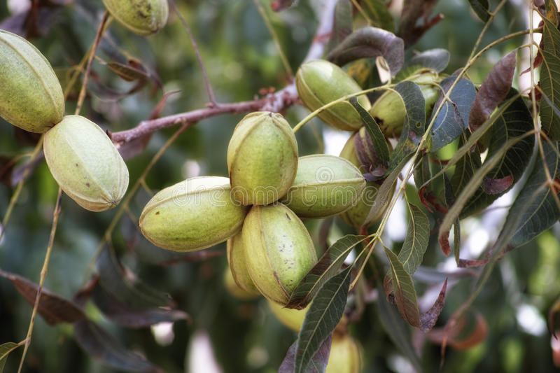 Pecan nuts. Young pecan nuts growing on a tree stock photography