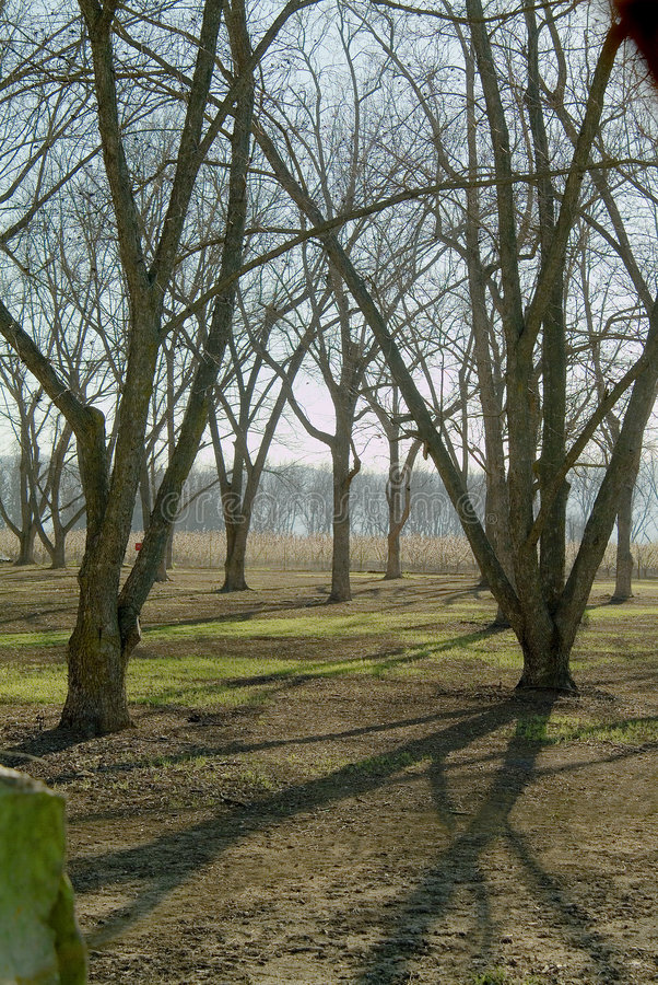 Pecan orchard. In late winter without foliage stock images