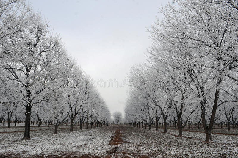 Pecan orchard royalty free stock images