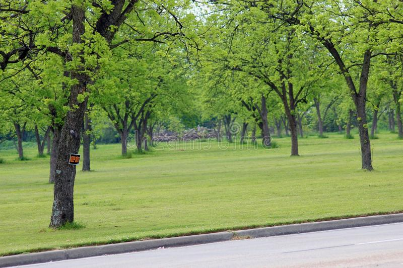 Pecan Orchard in spring bloom has deep green leaves royalty free stock photo