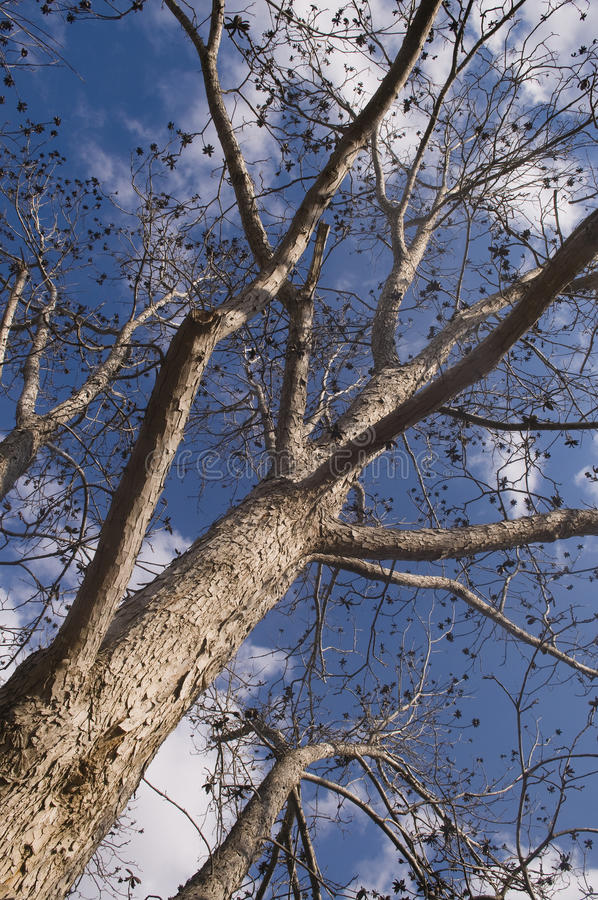 Pecan tree. Low perspective of tall Pecan tree stock images