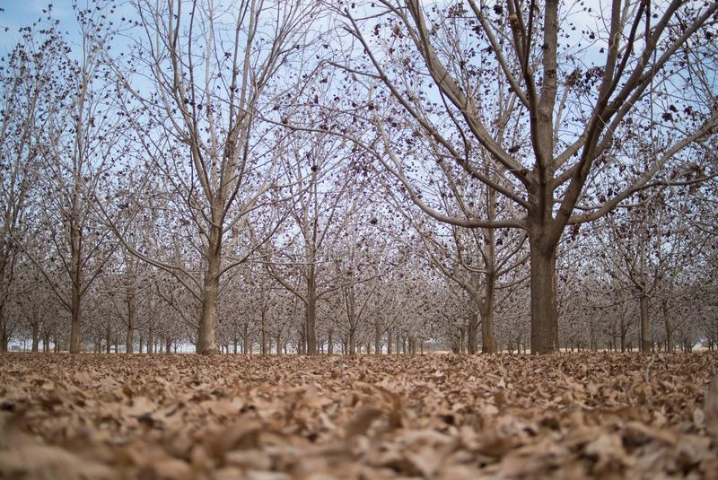 Pecan tree farm ready for harvest, with the ground covered in leaves royalty free stock images