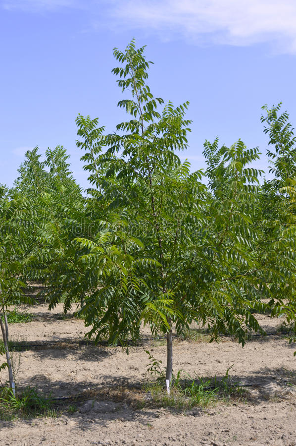 Pecan tree. Pecan nut tree on a farm on the blue sky background royalty free stock image