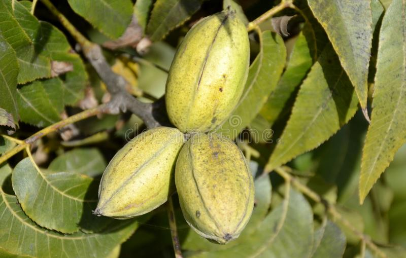 Pecan tree nuts. And leaves royalty free stock images