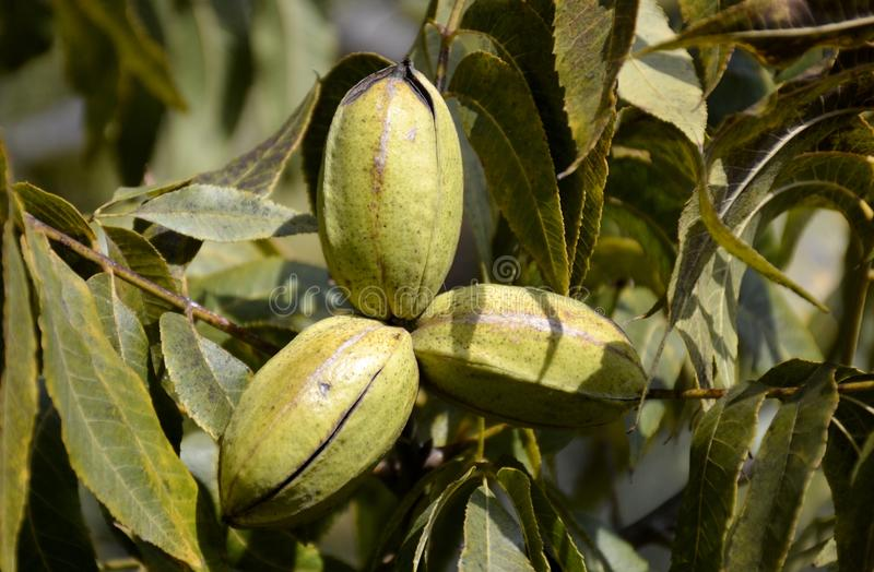 Pecan tree nuts. And leaves stock photography