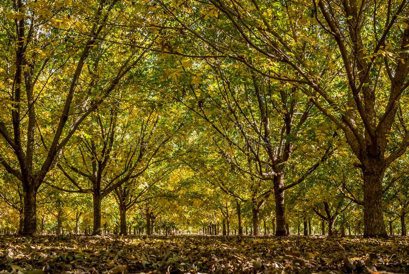 Colorful Autumn Pecan tree orchard stock image
