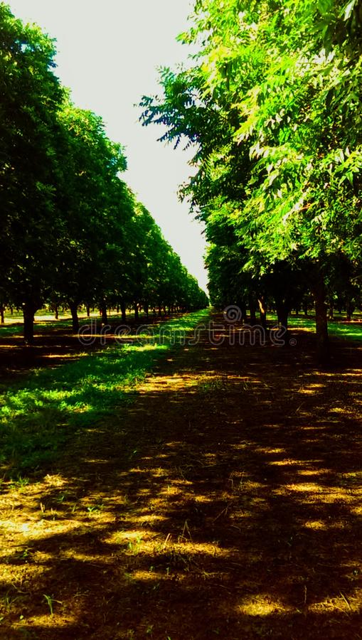 A Pecan Tree Orchard Row stock images
