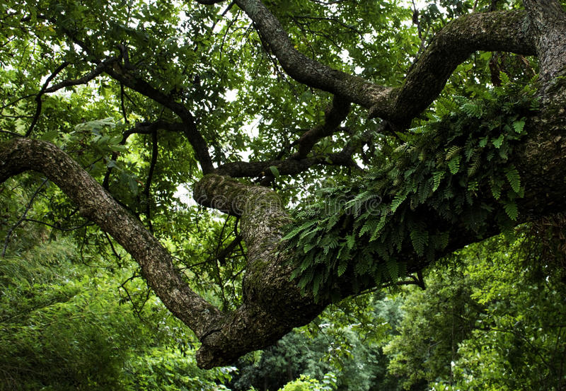 Pecan Tree with Resurrection Ferns. A huge pecan tree with resurrection ferns growing on the branches. This tree dates back to the 1800s royalty free stock photos