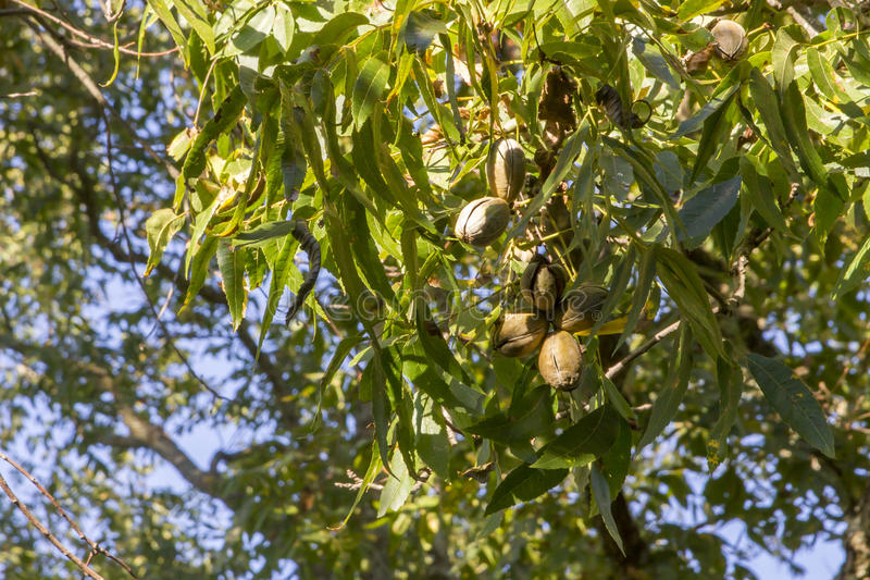 Pecan tree with ripening fruit. Ripe pecan growing on tree branch against blue skies royalty free stock images