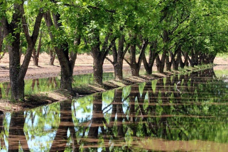 Pecan Trees royalty free stock photo