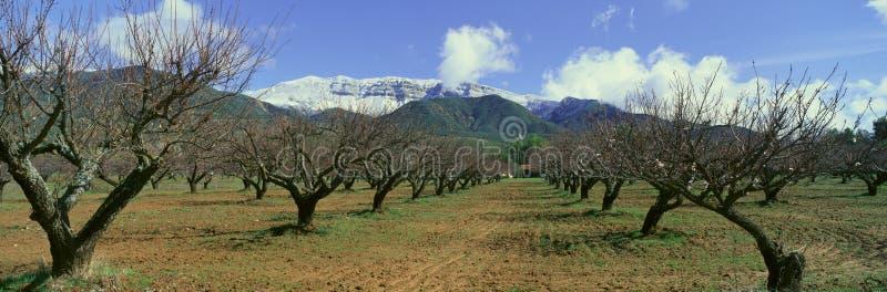 Pecan Trees. Ojai in California stock image