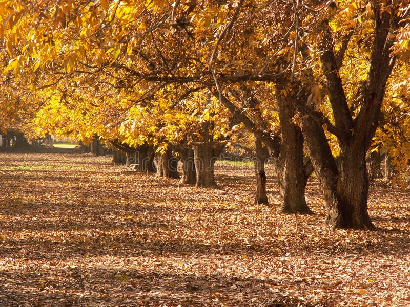 Pecan Trees in fall. Pecan Trees in country side fall royalty free stock photo