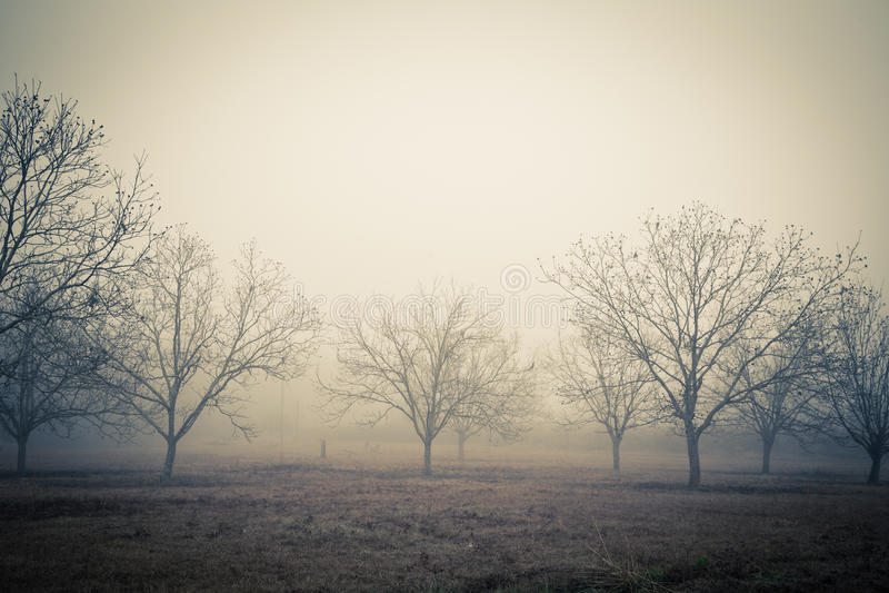Pecan Trees. Field of pecan trees in fog during winter stock image