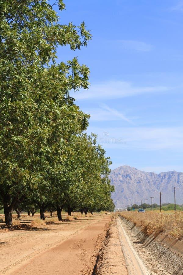Pecannötkoloni i en öken fotografering för bildbyråer